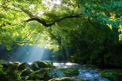 原生林と渓流と光芒 Virgin forest and shaft beam of li