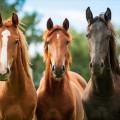 馬用ディヴァイン・ケア・プログラム